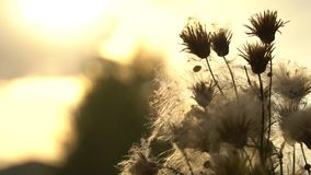 Fuzz of overripe thistle. Overripe fuzzy weed buds in light of setting sun. HD footage slowmotion video stock video