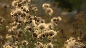 Fuzz of overripe thistle. Overripe fuzzy weed buds in light of setting sun. HD footage slowmotion video stock footage