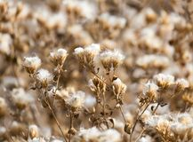 Fuzz on the plant outdoors in autumn.  Royalty Free Stock Photo