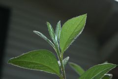 Fuzzy Azalea-Blätter lizenzfreies stockfoto