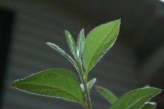 Fuzzy Azalea-bladeren Royalty-vrije Stock Foto