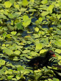 Fuzzy baby Common Gallinule Royalty Free Stock Photo