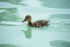Fuzzy Baby Duckling Fotografia Stock