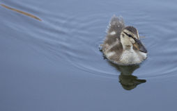Fuzzy Baby Duckling Royalty Free Stock Image