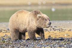 Fuzzy bear cub with clam in mouth. Brown bear cub with clam in his mouth Royalty Free Stock Images