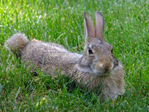 Fuzzy Bunny. Contented, well fed, lazy bunny hanging out in the grass stock photography