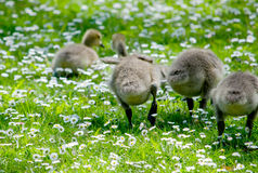 Fuzzy butts in a  flowering field Royalty Free Stock Photo