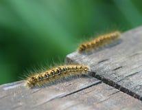 Fuzzy Caterpillar Stock Images