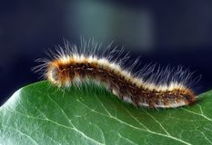Fuzzy Caterpillar  Stock Photo
