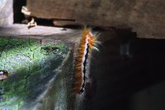 Fuzzy caterpillar. On the boardwalk on Boulder Beach, near Cape Town, South Africa royalty free stock photo