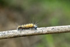 Fuzzy Caterpillar on Stick Stock Photo