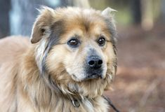 Fuzzy Collie Retriever mixed breed dog adoption photo stock photos