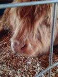 Fuzzy cow. A cute fuzzy cows face royalty free stock photography