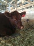 Fuzzy cow. Will county fair royalty free stock photos