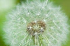 Fuzzy dandelion head ball. White fuzzy dandelion seed ball Royalty Free Stock Photo