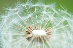Fuzzy dandelion. Dandelion ripe white seed ball Stock Image