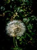 Fuzzy Dandelion Taraxacum  head in dark background. Shines in evening sun rays Royalty Free Stock Photos