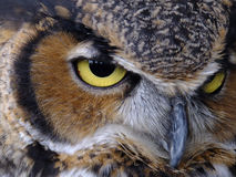 Fuzzy but Deadly. Majestic Great Horned Owl's piercing yellow eyed stare stock image