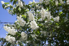 Fuzzy Deutzia, Deutzia scabra double flowered in bloom. White bunch of flowers and green leaves on branches against blue sky, sunlight Royalty Free Stock Photos