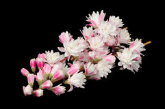 Fuzzy Deutzia Flowers on Black Background Stock Images