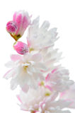 Fuzzy Deutzia Flowers Close-Up bianco rosato elegante su fondo bianco Immagine Stock