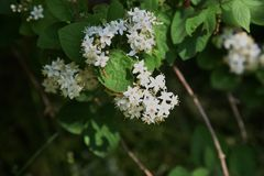 Fuzzy deutzia flowers stock photos