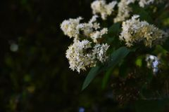 Fuzzy deutzia flowers royalty free stock photography