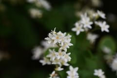 Fuzzy deutzia flowers stock photography