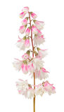 Fuzzy Deutzia Flowers Isolated on White Background Royalty Free Stock Images