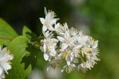 Fuzzy deutzia royalty free stock photo