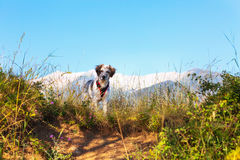 Fuzzy dog in green grass and high mountains and blue sky at background, freedom travel concept, copy space Royalty Free Stock Images