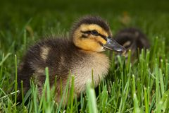 Fuzzy Duckling in Grass Stock Images