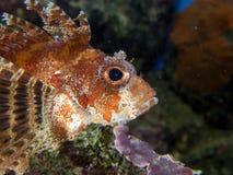 Fuzzy Dwarf Lion fish Close up Royalty Free Stock Image