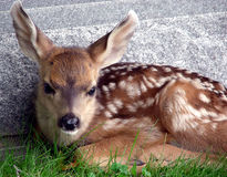 Fuzzy Fawn Stock Image