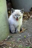 Fuzzy Feral Siamese Kitten with Blue Eyes Laughing, Yawning, Sticking Out Tongue royalty free stock photos