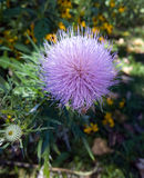 Fuzzy Flower. Purple pink thistle in bloom in a natural park setting stock photos