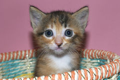 Fuzzy Fluffy Calico and black 4 week old kitten sitting in a multicolored. Spring basket looking straight ahead Stock Photo