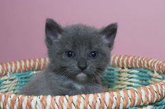 Fuzzy fluffy gray 4 week old tabby kitten peaking over the top of royalty free stock photos