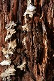 Fungi on rotting tree. A fuzzy fungus growing on a rotting tree. Image shows the texture of the rotting wood and the soft, fuzz like texture of the fungus making Stock Images