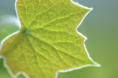 Fuzzy Gree Leaf Stock Images