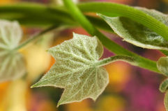 Fuzzy Green Leaf with Colorful Background Royalty Free Stock Photo