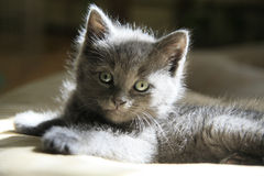 Fuzzy Grey Kitten. With light green eyes posing in the sunlight for the camera Stock Photography