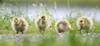 Baby Canada Goose hatchlings, Georgia, USA Royalty Free Stock Photography