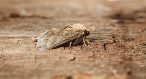 Fuzzy lepidoptera Stock Photography