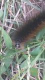 Caterpillar. Fuzzy little caterpillar crawling in the grass Royalty Free Stock Photos