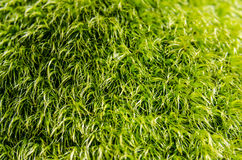 Fuzzy Moss Background. A bright green close-up of moss make a perfect background royalty free stock photos