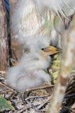 Fuzzy Newborn Snowy Egret Chick. A fuzzy newborn Snowy Egret chick in a nest stock photography