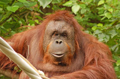 Fuzzy Orangutan Stock Images