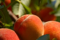 Fuzzy peaches. Close up of three fuzzy peaches Stock Images
