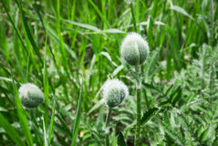 Fuzzy Plant Bulb stock afbeeldingen